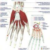 anatomiamainii-1