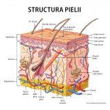 Structura-pielii